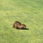 Tierischer Besuch auf dem Golfplatz